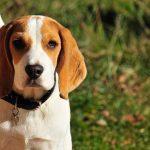 Bebederos para perros Beagle