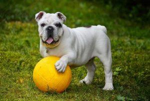Bebederos para perros Bulldog